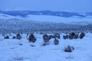 Ambiance arène Tétras des armoises - Wyoming - David LÉDAN