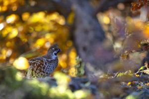 Gelinotte aux couleurs d'automne - Jean GUILLET