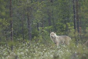 Le loup de la Taïga - Olivier Larrey