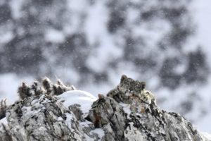 En harmonie avec la panthère des neiges - Frédéric Larrey