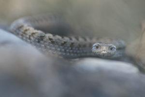 Mordus de Serpents, Vipère d'Orsini - Maxime Briola