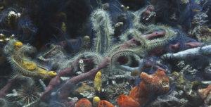 Ophiures, éponges et coraux. Caraïbes, 62 photographies; 55mm, f : 5,6. -