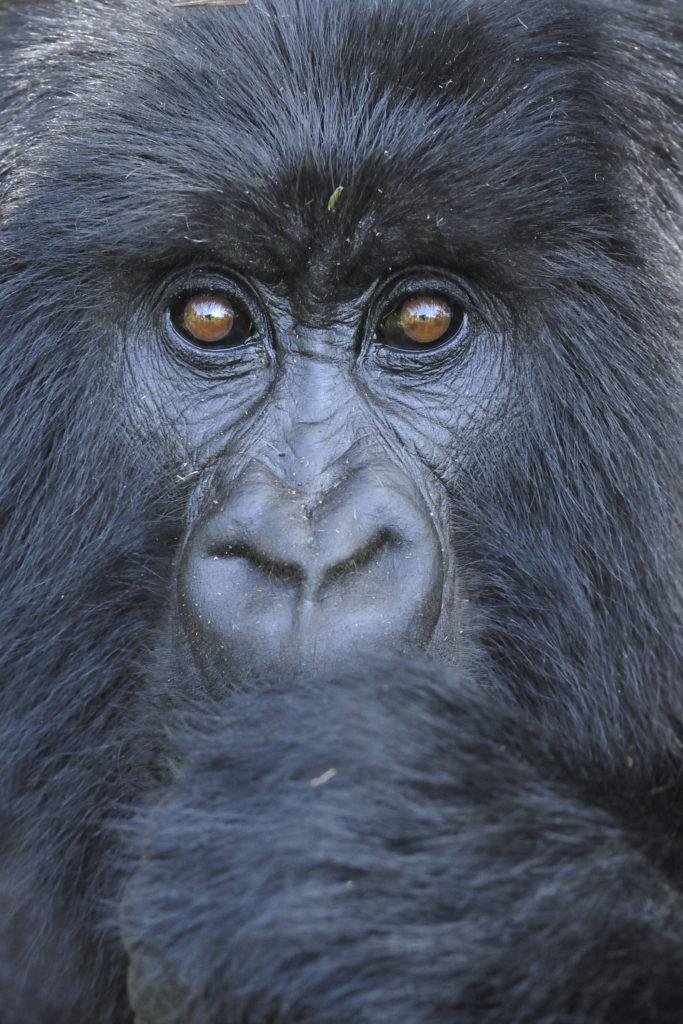 Les yeux du gorille - Patrick Kientz