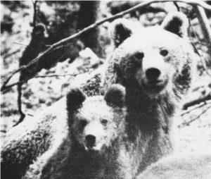 Pyrénées, Ourse et ourson, photo de François Merlet, 1967 - Collection François Merlet – Museum de Bourges