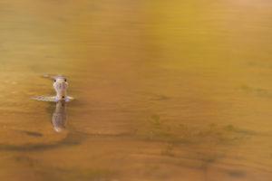 Couleuvre à collier - M.Briola - Regard du Vivant