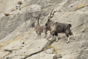 Couple de Markhor - Copyright Eric Dragesco