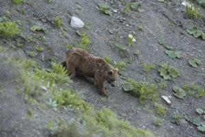 Ours de l'Himalaya - Copyright Eric Dragesco