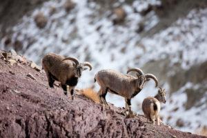Bharals, proies principales de la panthère des neiges - Sylvain Dussans