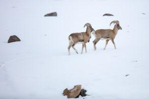 Urials du Ladakh, un mouflon rare et menacé - Sylvain Dussans