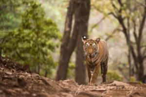 Tigres d'Inde - Francis Hirn