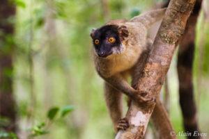 Lemurs de Madagascar - Alain Even