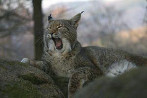 Le Lynx - Ole Anders – SNU-RLP