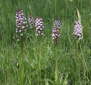 Orchis pourpre - Daniel Gayet (ReNArd)