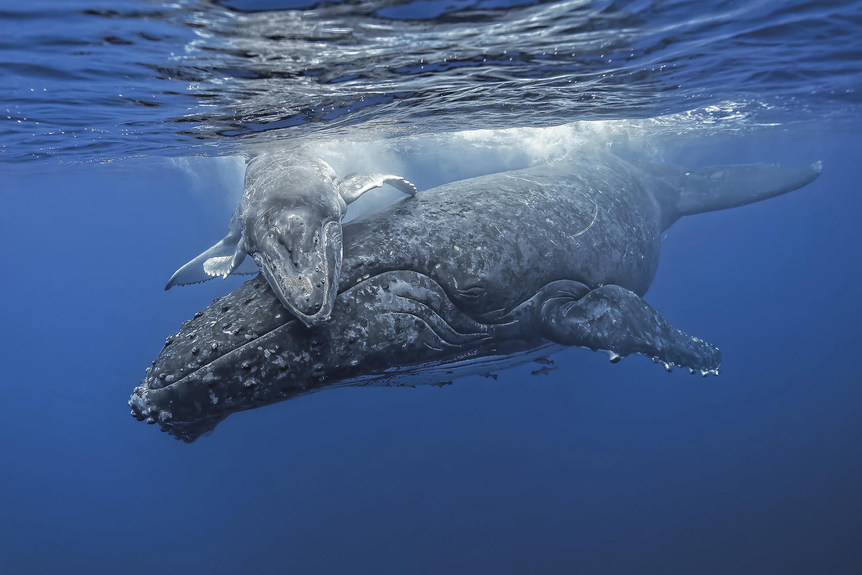 Baleine à bosse et son petit, Polynésie française - Fabrice Guérin