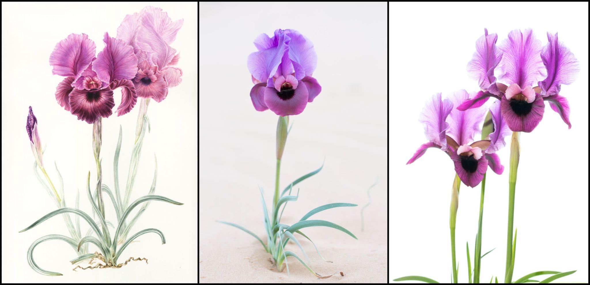 730_iris-mariae-12.jpg -