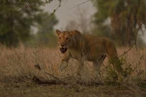 Retour de chasse pour une lionne - Olivier Grunewald