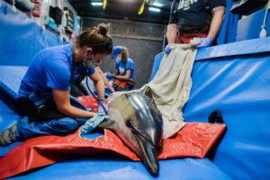 Un dauphin commun échoué reçoit des soins de la part de l'équipe de sauvetage des mammifères marins d'IFAW - (c) IFAW