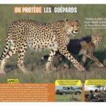 On protège les guépards
