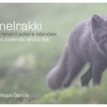 Melrakki, le renard polaire Islandais