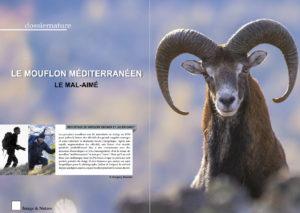 Le Mouflon Méditerranéen
