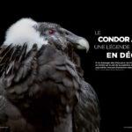 Le Condor Andin, une légende en déclin